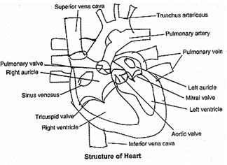 An easy diagram of HUMAN HEART   Homework Help   myCBSEguide