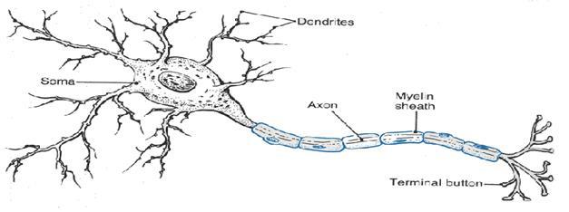 http://brainyinfo.com/home/wp-content/uploads/2011/01/Neuron.gif